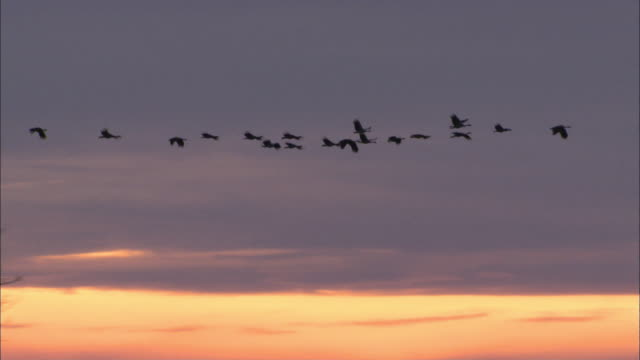 vídeos de stock e filmes b-roll de ts geese flying in v formation across the sky at dusk / northern territory, australia - ganso