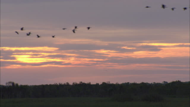 vídeos de stock, filmes e b-roll de la geese flying in v formation across the sky at dusk / northern territory, australia - birds flying in v formation