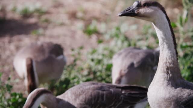 stockvideo's en b-roll-footage met geese in a barn yard - vier dieren