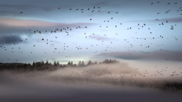 Geese in flight from at dawn, Finley Wildlife Reserve, OR