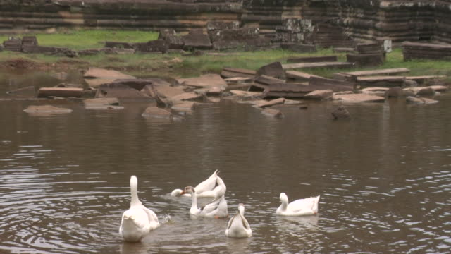 zo geese in pond at entrance to bayon temple at angkor thom / angkor, cambodia - 数匹の動物点の映像素材/bロール