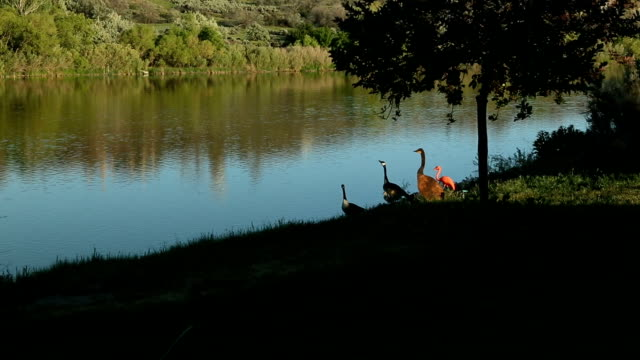geese on the river bank - river snake stock videos & royalty-free footage