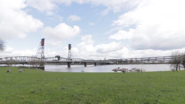 vídeos de stock e filmes b-roll de geese pecking the ground as cars drive over bridge in the distance, blue skies - rio willamete