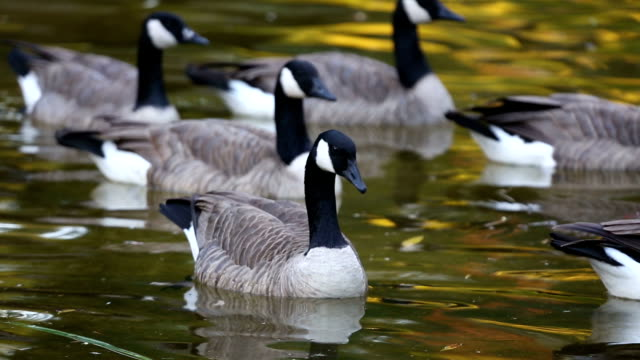 geese swimming in a pond - canada goose stock videos & royalty-free footage