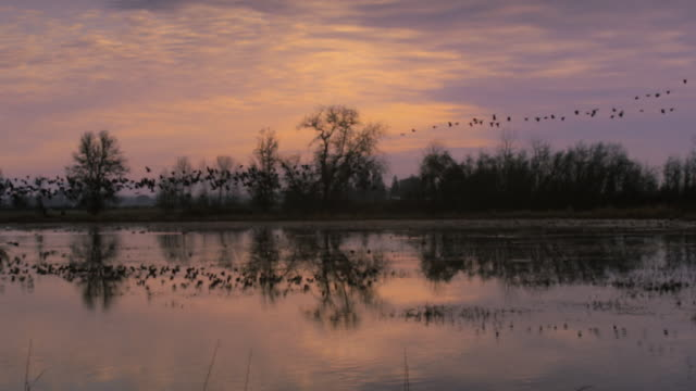 vidéos et rushes de ws pan slo mo  geese taking off from wetlands / finley national wildlife refuge, oregon, usa - bernache du canada