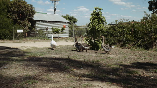 geese walking in a group at a farm in victoria, australia - farmhouse stock videos & royalty-free footage