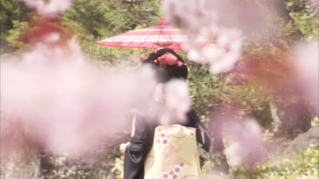 vidéos et rushes de a geisha walks along a path lined with blooming cherry trees. - geisha