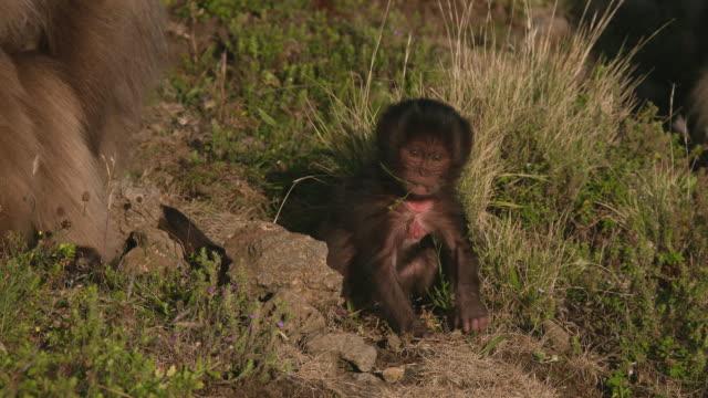 gelada baboon baby eating gras in the simien mountains, ethiopian highland - horn von afrika stock-videos und b-roll-filmmaterial