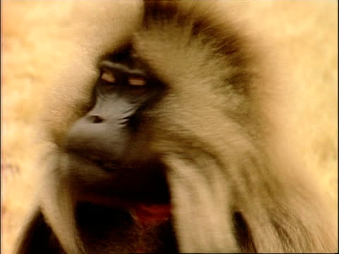 CU Gelada baboon chewing, poor manners, Ethiopia, Africa