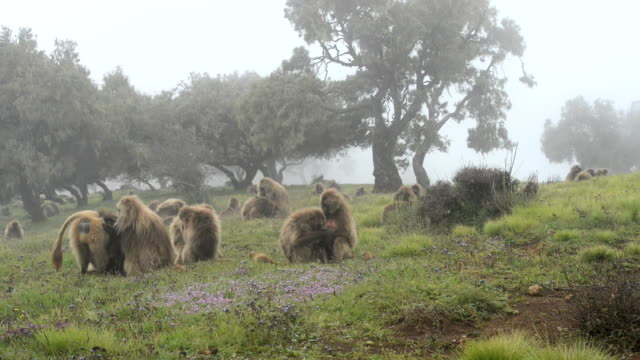 gelada baboon coughing - horn of africa stock videos & royalty-free footage