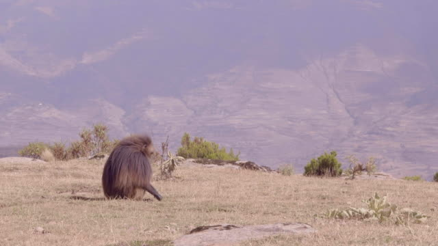 gelada baboon in lalibela, ethiopia - one animal stock videos & royalty-free footage