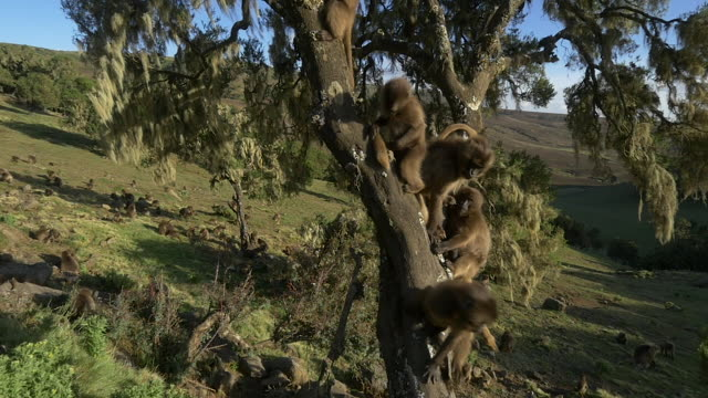 gelada baboon kids climb on a tree in the simien mountains, ethiopian highland - horn von afrika stock-videos und b-roll-filmmaterial