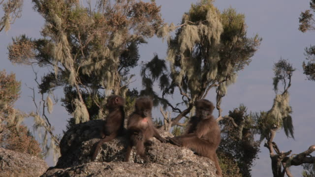 gelada baboon kids play on a rock in the simien mountains, ethiopian highland - horn von afrika stock-videos und b-roll-filmmaterial