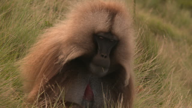 gelada baboon male eating gras in the simien mountains, ethiopian highland - baboon videos stock videos & royalty-free footage