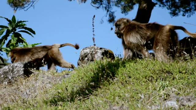 gelada baboon - ethiopia stock videos and b-roll footage