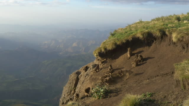 gelada baboons having fun on a sandy cliff in the simien mountains, ethiopian highland - horn von afrika stock-videos und b-roll-filmmaterial
