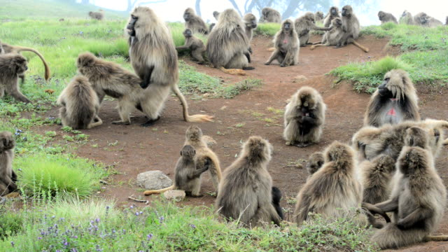 gelada baboons mating - monkey stock videos and b-roll footage