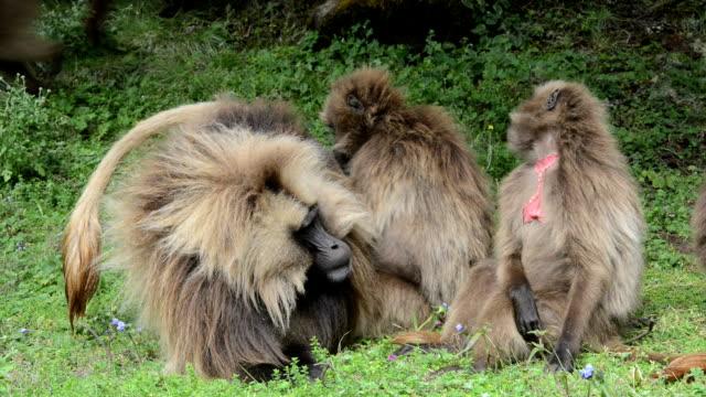 gelada baboons - aggression点の映像素材/bロール
