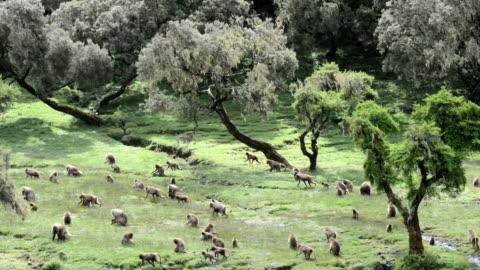 vídeos y material grabado en eventos de stock de gelada baboons - grupo grande de animales