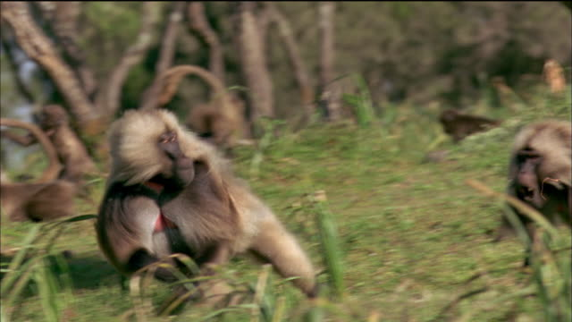 gelada runs away from another baboon. available in hd. - 歯点の映像素材/bロール