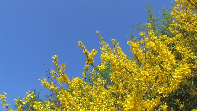 Gelbe Forsythien (Forsizia)-fiori