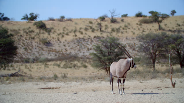 WS Gemsbok (Oryx gazella) standing in savannah / Kgalagadi Transfrontier Park, Kgalagadi District, South Africa