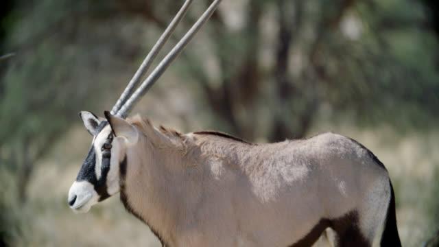 MS Gemsbok (Oryx gazella) standing in savannah / Kgalagadi Transfrontier Park, Kgalagadi District, South Africa