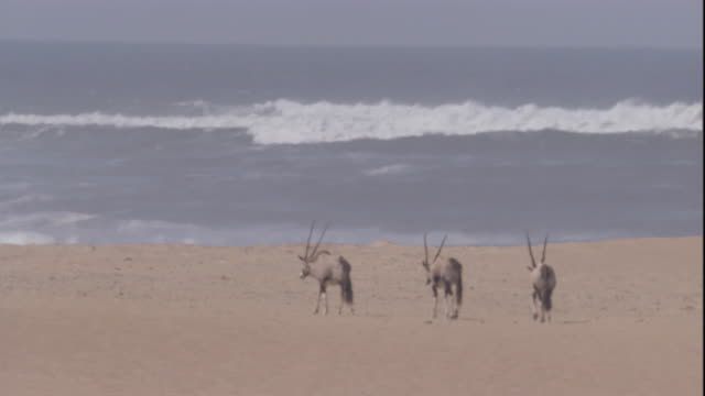 gemsbok walk along the skeleton coast, namibia. available in hd. - namibia stock videos & royalty-free footage