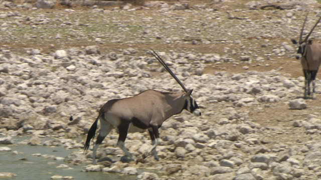 ms ts zi gemsbok walking in water and ground / limpopo, south africa - hooved animal stock videos & royalty-free footage