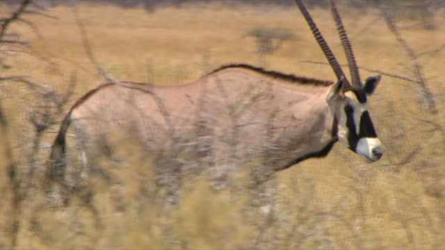 ms ts zi gemsbok walking through grass / northern cape, south africa - hooved animal stock videos & royalty-free footage