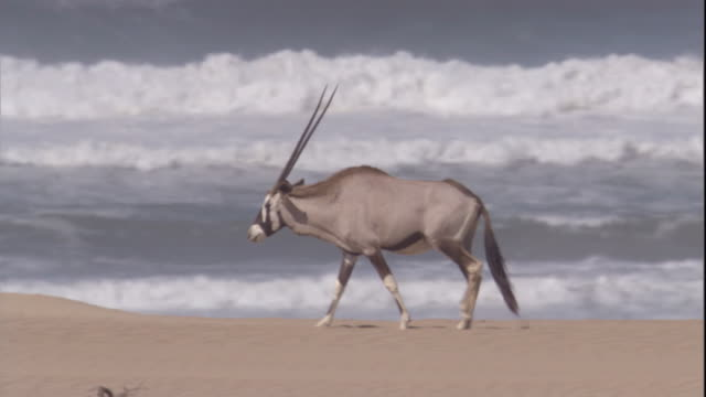 a gemsbok walks along the skeleton coast, namibia. available in hd. - namibia stock videos & royalty-free footage