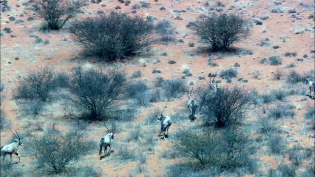 Oryx (Oryx Gazelle) - Luftbild - Nordkap, Pixley ka Seme District Municipality, Siyancuma, Südafrika
