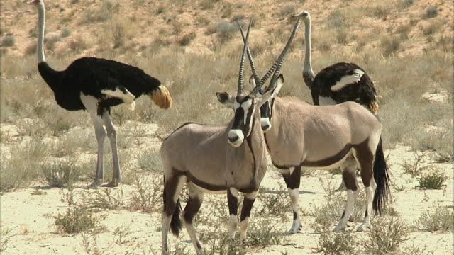 vídeos y material grabado en eventos de stock de ms gemsbucks (oryx gazella) and ostriches (struthio camelus) in kgalagadi transfrontier park, northern cape, south africa - cuatro animales