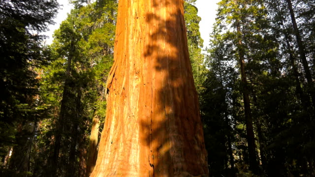 general grant sequoia tree - giant sequoia stock videos and b-roll footage