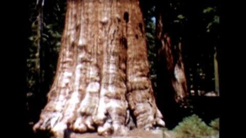 1955 general sherman tree - sequoia stock videos & royalty-free footage