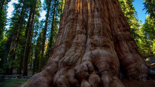 general sherman tree - baumbestand stock-videos und b-roll-filmmaterial