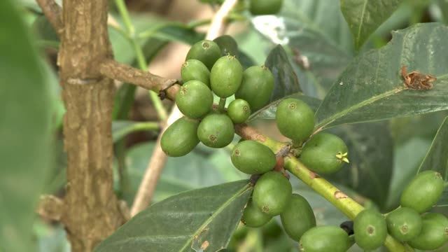 general shots from an ethiopian coffee plantation green coffee growing - plantation stock videos & royalty-free footage