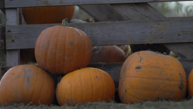 general view at foxes farm produce - the corn maze and the pumpkin patch - basildonon october 26, 2020 in essex, england. - season stock videos & royalty-free footage