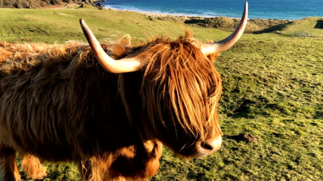 general view of cattle in islay, scotland, on february 5, 2018. - cattle stock videos & royalty-free footage