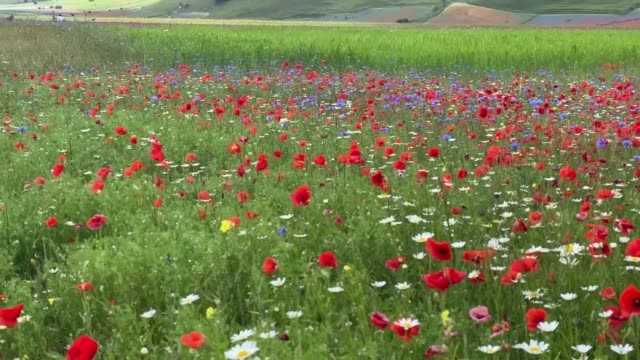 vídeos y material grabado en eventos de stock de general view of fields of blooming lentil and poppies flowers during the annual blossom, on july 3, 2020 in castelluccio di norcia, italy.... - tierra cultivada