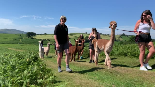 general view of members of the public trekking alpacas in the brecon beacons on july 31, 2020 in brecon, united kingdom. high temperatures are... - healthy lifestyle stock videos & royalty-free footage