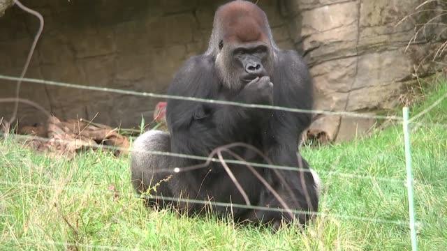 General views London Zoo gorillas ENGLAND London Regent's Park ZSL London Zoo EXT General views Kumbuka and other silverback gorillas in enclosure /...