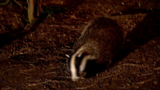 general views of badgers in the wild england various of badger foraging in undergrowth - foraging stock videos & royalty-free footage