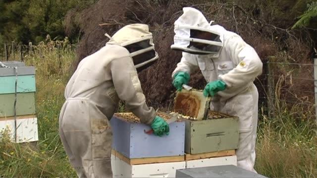 general views of beekeepers tending to manuka honey beehives - beehive stock videos & royalty-free footage