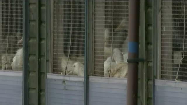 stockvideo's en b-roll-footage met general views of bird flu outbreak farm; england: yorkshire: driffield: ext shed farm buildings / people along in protective suits / ducks in pen /... - vogelpestvirus