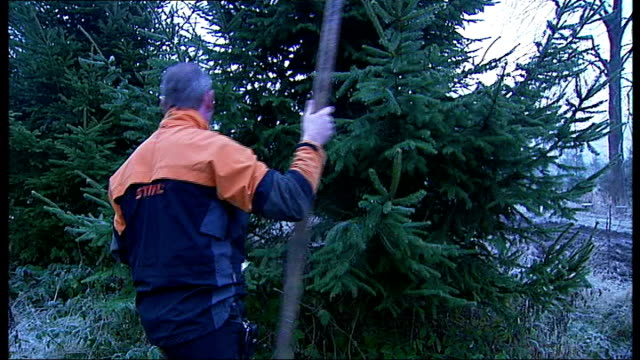 General views of estate workers chopping down fir trees on Windsor Crown Estate Truck loaded with fir trees / General view of fir trees covered with...