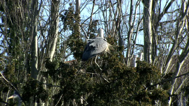 general views of kelsey park/ ducks and herons grey heron stood in tree / more herons flying across lake / heron stood on ledge in middle of lake as... - bunter reiher stock-videos und b-roll-filmmaterial