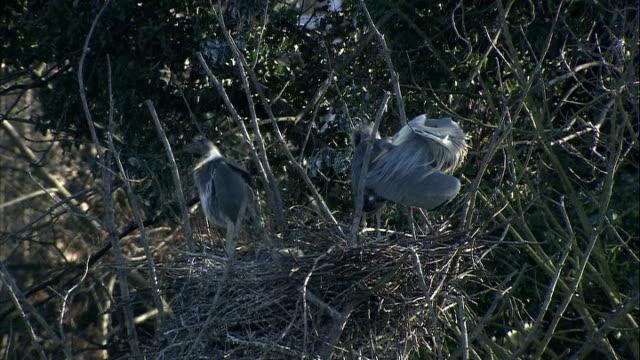 general views of kelsey park/ ducks and herons; heron stood in nest with other herons in tree branches / family of herons in nest / general views of... - branch stock videos & royalty-free footage