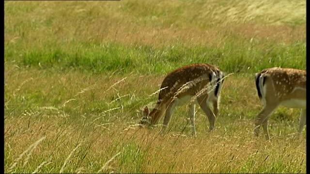 General Views of Richmond Park Two fallow deer grazing