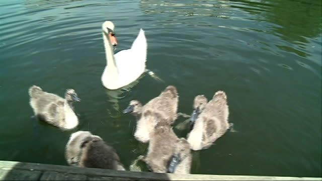general views of swan upping; **music heard intermittently sot** swan and cygnets being fed / boat along / swan hotel pub / swan uppers boats along - cygnet stock videos & royalty-free footage